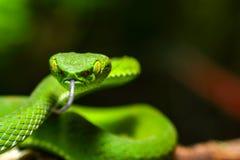 曲折前进,绿色树蛇蝎喀麦隆高地坑蛇蝎Trimeresurus nebularis 免版税库存照片