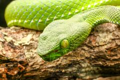 曲折前进,绿色树蛇蝎喀麦隆高地坑蛇蝎Trimeresurus nebularis 图库摄影