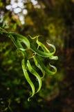 曲折鲜绿色豪华有叶生长 库存图片