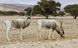 曲角羚羊有角的nasomaculatus短弯刀 免版税库存图片