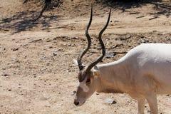 曲角羚羊羚羊 库存图片
