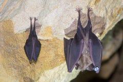 更加伟大和一点马蹄型蝙蝠比较  免版税图库摄影