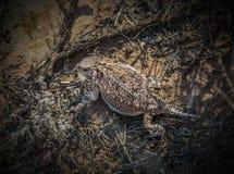 更加伟大的山短有角的蜥蜴, Phyrnosoma hernandesi,  库存图片