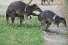 更加伟大的森林鼠 免版税库存图片