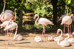 更加伟大的火鸟,尼斯桃红色大鸟,动物群在自然栖所 免版税图库摄影
