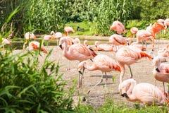 更加伟大的火鸟,尼斯桃红色大鸟,动物群在自然栖所 免版税库存图片