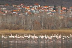 更加伟大的火鸟, Phoenicopterus ruber,好的桃红色大鸟群,在湖Kerkini,希腊,村庄Madraki在背景中,  库存照片