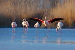 更加伟大的火鸟, Phoenicopterus ruber,好的桃红色大鸟群,跳舞在水中,动物在自然栖所 蓝天 免版税图库摄影