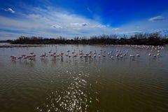 更加伟大的火鸟, Phoenicopterus ruber,好的桃红色鸟群,跳舞在水中,动物在自然栖所 蓝天和 免版税库存照片