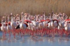 更加伟大的火鸟, Phoenicopterus ruber,尼斯桃红色大鸟群,跳舞在水中,动物在自然栖所, Camargue 图库摄影