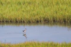 更加伟大的黄足鹞狂放的鸟Tringa melanoleuca 库存照片