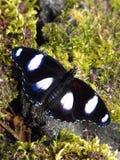 更加伟大的Eggfly蝴蝶 图库摄影