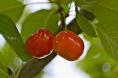 更加多雨的是甜樱桃 库存图片