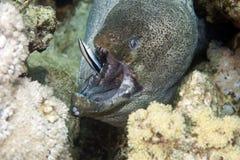 更加干净的巨型gymnothorax javanicus海鳗 免版税库存照片