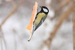 更加极大的北美山雀 免版税图库摄影
