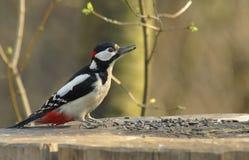 更加极大的被察觉的啄木鸟 免版税图库摄影