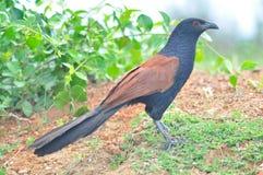 更加极大的Coucal鸟 免版税图库摄影