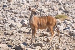 更加极大的Kudu母牛 库存照片