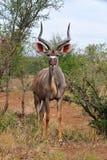 更加极大的kudu男性弯角羚类非洲羚羊ľ 免版税库存图片