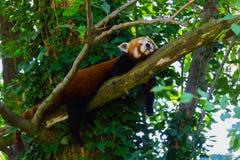 更小熊猫睡觉 免版税库存照片
