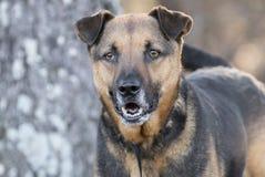 更旧的德国牧羊犬混合狗摇摆的尾巴 免版税库存照片