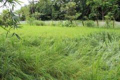 曼尼普尔邦的稻田 免版税库存照片
