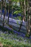 曼格会开蓝色钟形花的草 库存照片