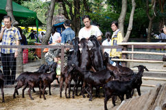 曼谷- 1月1 对山羊的未认出的人哺养的食物2014年1月1日在Dusit动物园在曼谷,泰国 免版税库存图片
