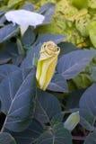 曼陀曼,毒园林植物 免版税库存图片