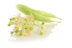 替代医学:菩提树开花(得到咳嗽的治疗) 库存图片