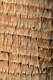 最佳的接近的细节棕榈树吠声纹理样式背景 免版税库存照片