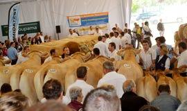 最佳的母牛交配动物者的比赛 免版税库存图片