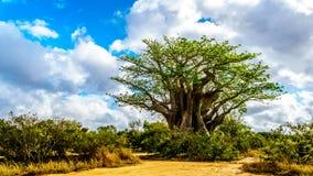最南部的猴面包树树在部分在春天的蓝天下在克留格尔国家公园 库存图片