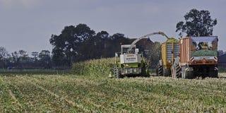最后的舒展玉米收获 库存照片