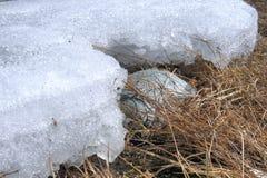 最后雪在春天森林里 免版税图库摄影