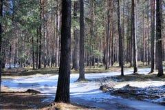 最后雪在春天森林里 库存图片