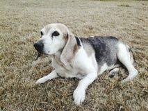 最大百万个小猎犬 免版税库存照片