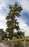 最大的加那利群岛杉木皮诺戈登 免版税库存图片
