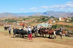 最大的封牛市场在马达加斯加 库存照片