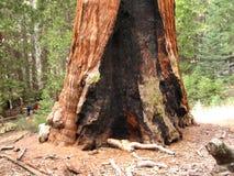 最大的树在世界2上 免版税库存图片