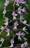 最大的植物的家庭的兰花一的种类 免版税库存照片
