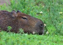 最大的capibara地面汇率 免版税图库摄影