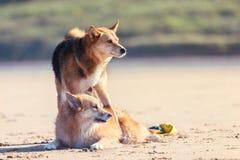 最好的朋友,在海滩的狗 免版税库存图片