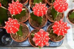 最小的植物艺术 Gymnocalycium红色仙人掌  免版税库存图片