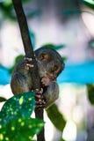 最小的狐猴在世界- tarsier菲律宾的狐猴上 库存照片