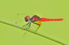 最小的蜻蜓在世界上 库存照片