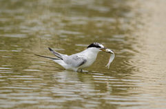 最少燕鸥哺养 图库摄影