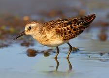 最少矶鹞水鸟(Calidris minutilla)或窥视 库存照片