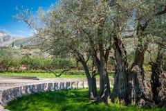 最旧的橄榄树在欧洲 免版税库存照片