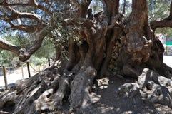 最旧的橄榄树, Moumental橄榄树Kavousi 免版税图库摄影